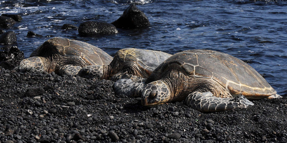 Endangered green sea turtles or honu at black sands Punaluu Beach Hawaii Big Island