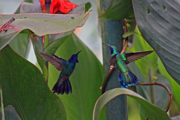 Hummingbirds in Costa Rica